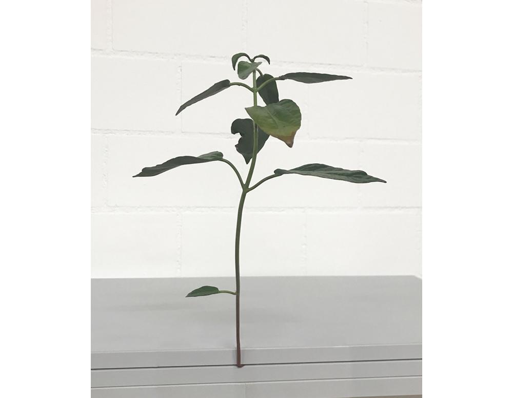 Weed #68-08